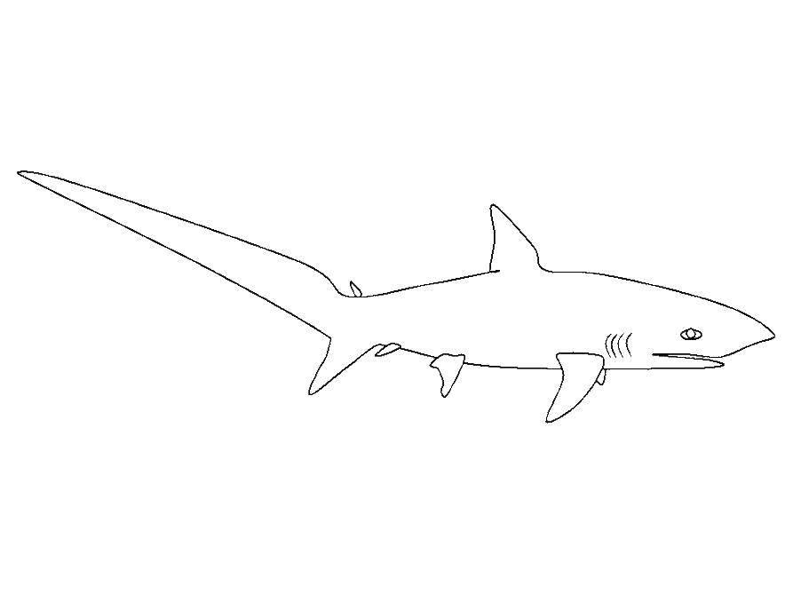 Акула с большим хвостом