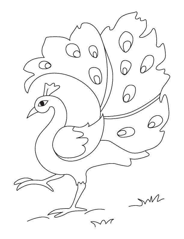 Раскраски домашние птицы павлин, птицы зоопарка павлины  Павлин