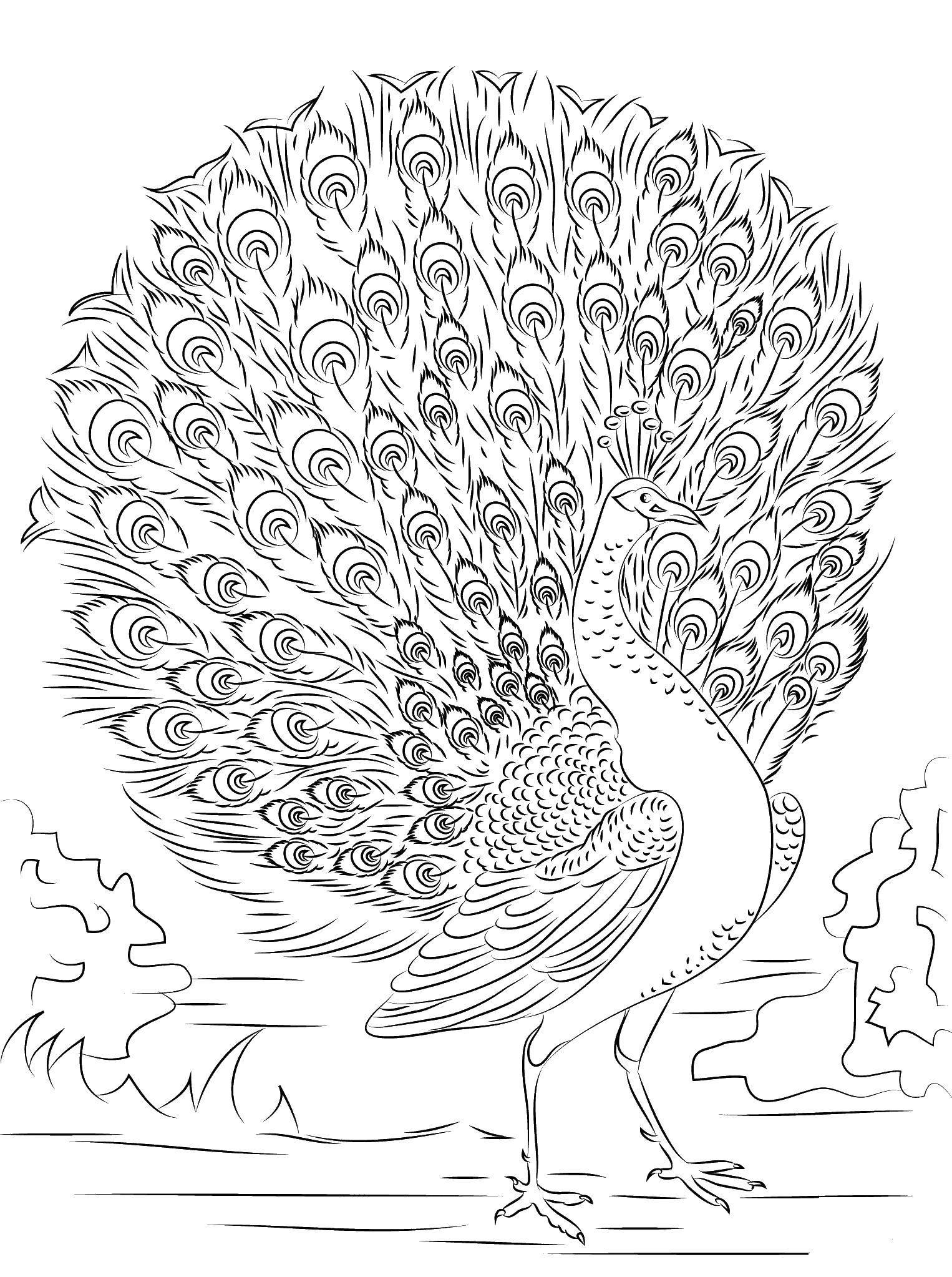 Раскраски домашние птицы павлин, птицы зоопарка павлины  Гордый павлин