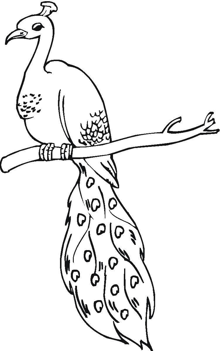 Раскраски домашние птицы павлин, птицы зоопарка павлины  Павлин на ветке