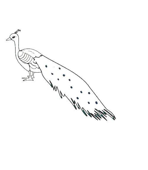 Раскраски домашние птицы павлин, птицы зоопарка павлины  Павлин спустил хвост