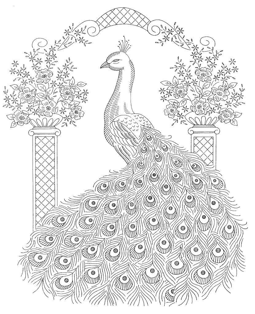 Раскраски домашние птицы павлин, птицы зоопарка павлины  Павлинчик