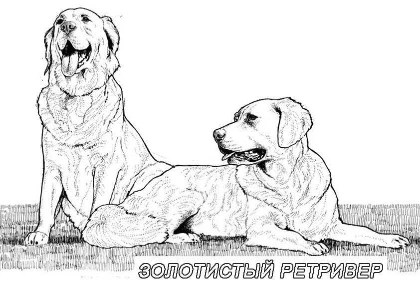 Рисунок собаки золотистый ретривер