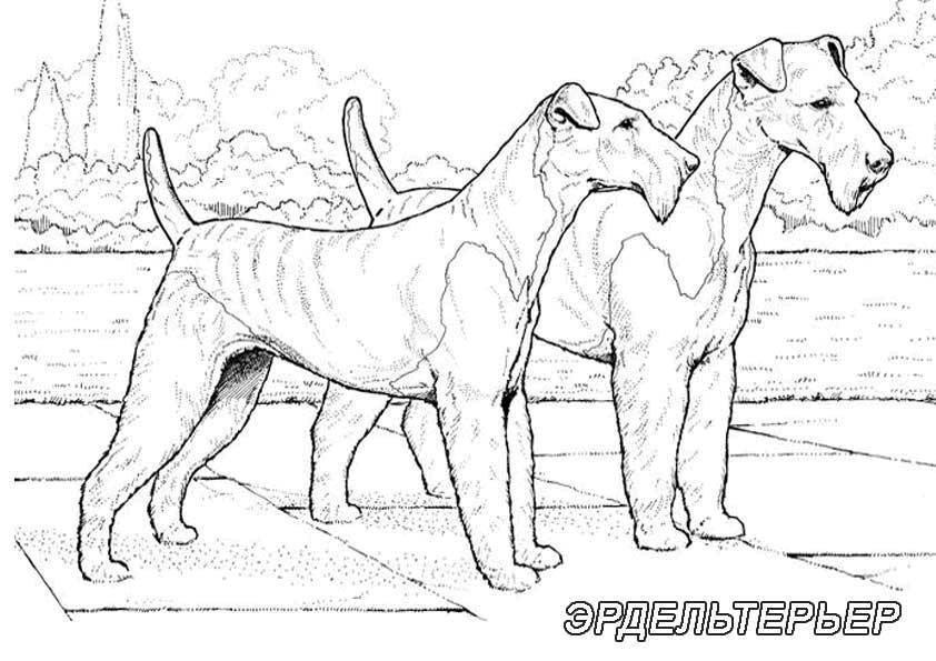Рисунок собак семейства эрдельтерьер