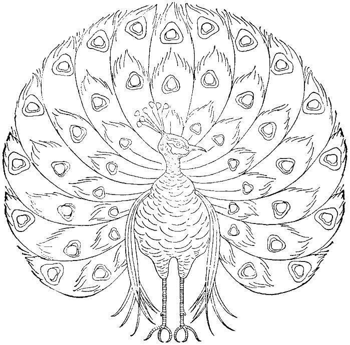 Раскраски домашние птицы павлин, птицы зоопарка павлины  Павлин с огромным хвостом