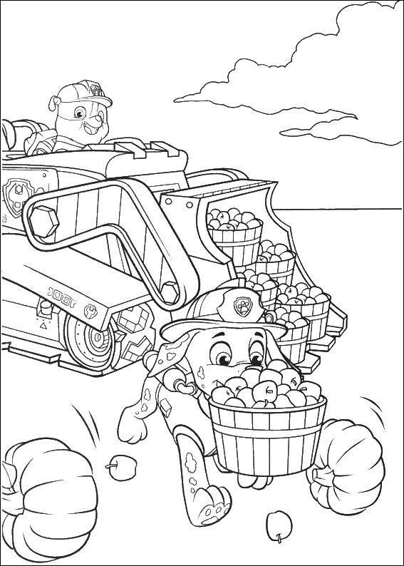 Маршалл и крепыш собирают яблоки