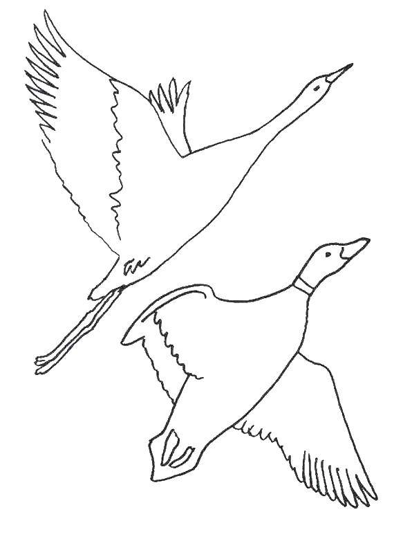 Раскраска с гусями  Гуси
