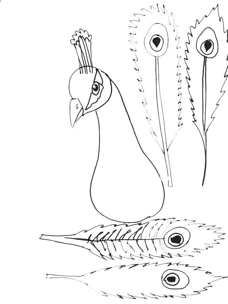 Раскраски домашние птицы павлин, птицы зоопарка павлины  Перья павлина