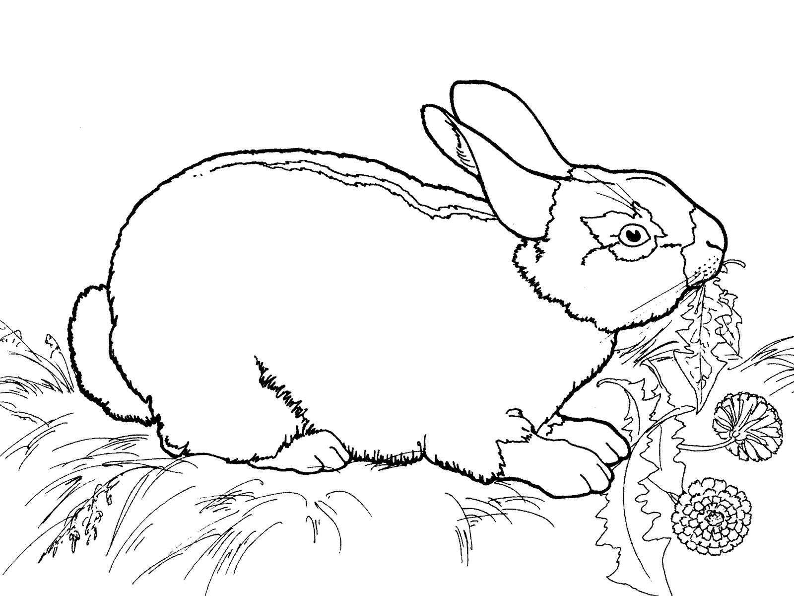 Раскраски зайцы, зайчиха, зайчонок  Заяц поедает траву