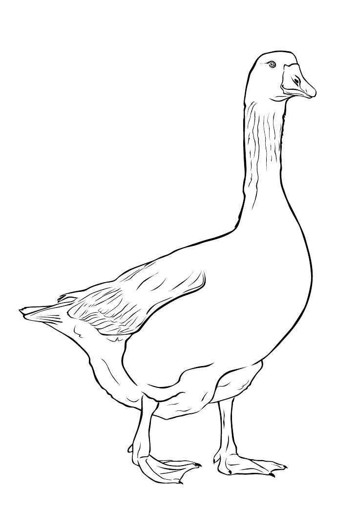 Раскраска с гусями  Гусь