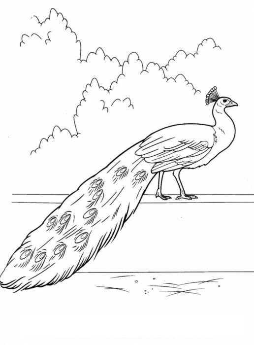 Раскраски домашние птицы павлин, птицы зоопарка павлины  Павлин в барьере