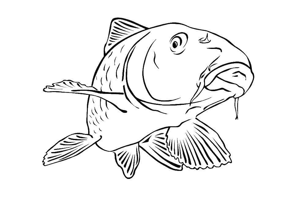 Раскраски карп рыба сом