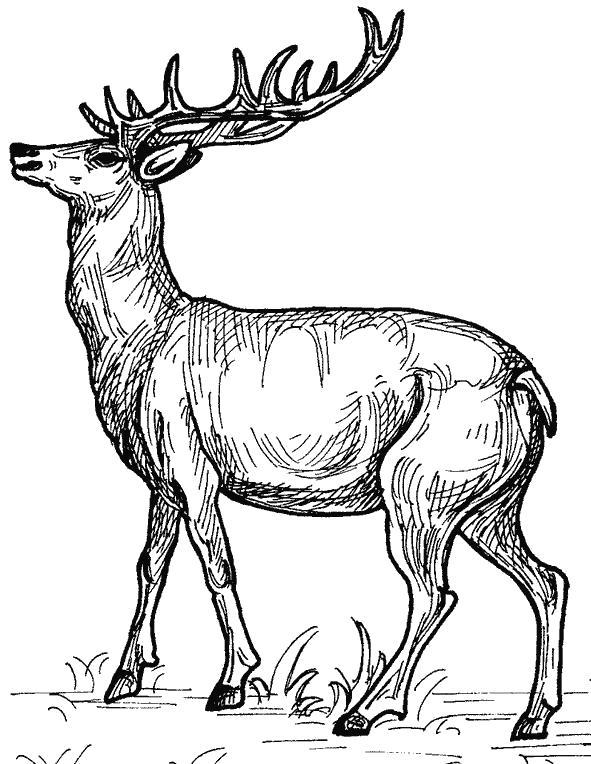 Раскраски лошади олень