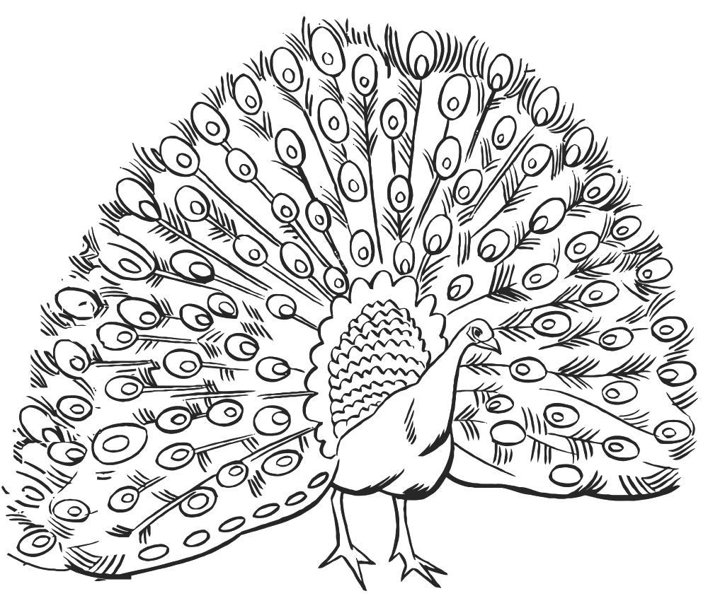 Раскраски домашние птицы павлин, птицы зоопарка павлины  Павлин с большими мерьями