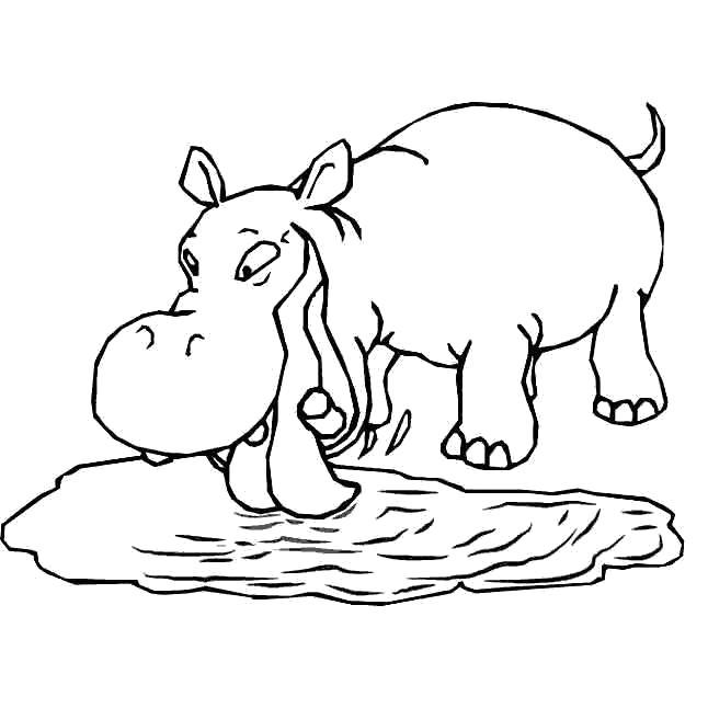 Раскраски бегемоты и гиппопотамы   Бегемот пьет воду