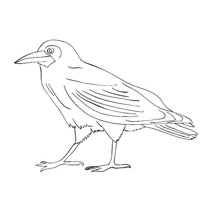 раскраски сорока птицы ворон