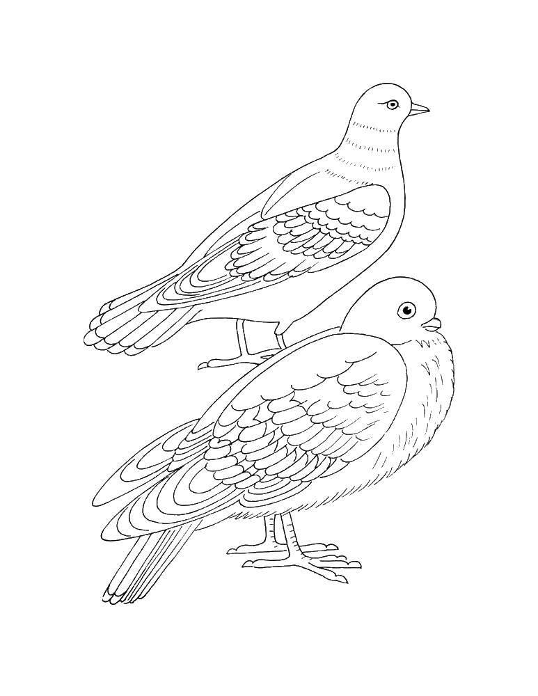 Раскраски с птицей голубь  Два голубя
