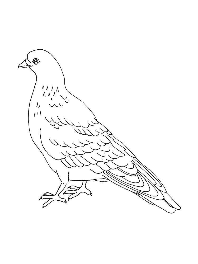 Раскраски с птицей голубь  Птица голуб