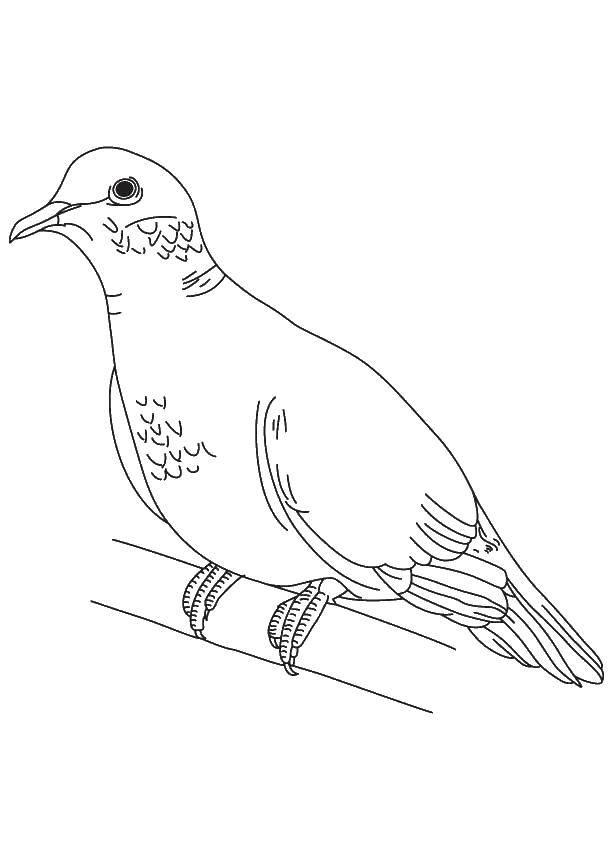 Раскраски с птицей голубь  Голубь на жёрдочке