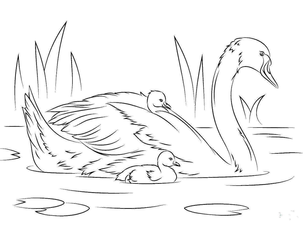 Лебедята с мамой