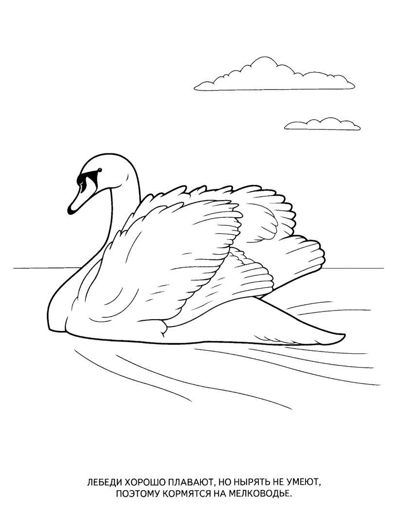 Раскраска лебедь. раскраска раскраска лебедь для ребенка, рисунок лебедя для раскрашивания, картинки птиц и животных для детей, детский сайт с раскрасками птиц